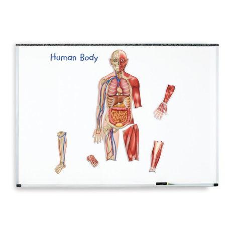 Dubbelzijdige magneten: het menselijk lichaam