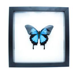 Blauwe vlinder in zwarte lijst