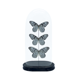 Vlinder in antieke stolp