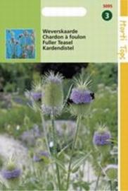 Dipsacus sativus  Kaardebol - Weverskaarde