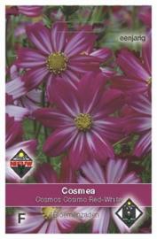 Cosmos Cosimo Red White  Cosmea