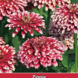 Zinnia Mazurkia - Zinnia