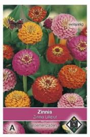 Zinnia Lilliput - Zinnia