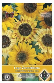 Helianthus Music Box  Zonnebloem