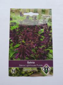 Salvia - Salvia Lighthouse Purple