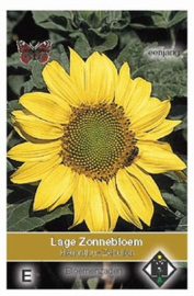 Helianthus Zebulon