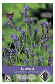 Lavandula Spanish Eyes  Lavende