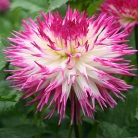 Dahlia Pinelands Princess