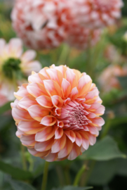 Dahlia Peaches - New