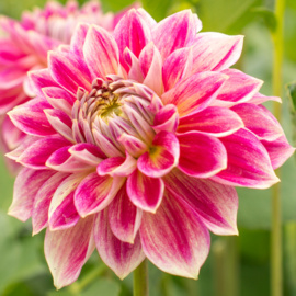 Dahlia Temple of Beauty