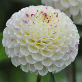 Dahlia Small World - Exclusief