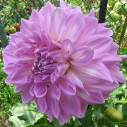 Dahlia Almand's Joy
