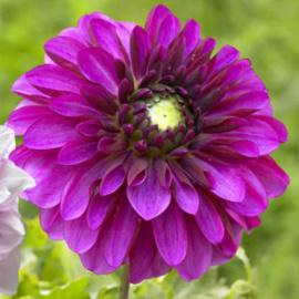 Dahlia Lilac Ball - Exclusief