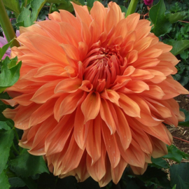 Dahlia Clyde's Choice