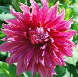 Dahlie Penhill Dark Monarch