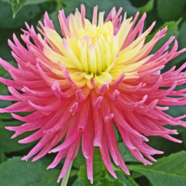 Dahlia Fringed Star