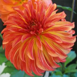 Dahlia Irish Pinwheel