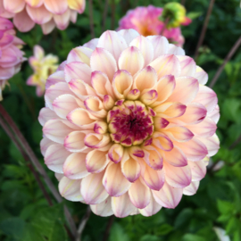 Dahlia Wine Eyed Jill - New