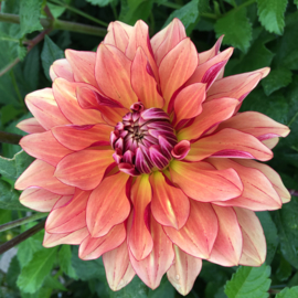 Dahlia Miss Brandy - New