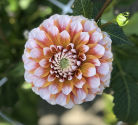 Dahlia Tangerine Dream, Middelgroot bloemig