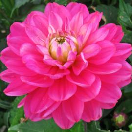 Dahlia Melody Allegro Rose