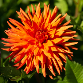 Dahlia Autumn Orange