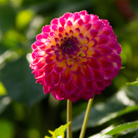 Dahlia Hapet Day Dream
