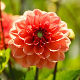 Dahlia Orange Girl