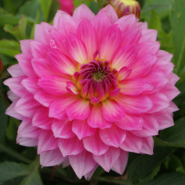 Dahlia Galley Bellini