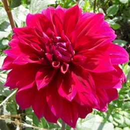 Dahlia Babylon Purpur