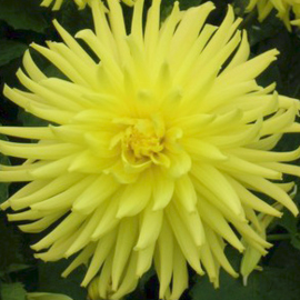 Dahlia Yellow Happiness