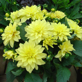 Dahlia Galley Cezanne