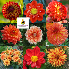 Dahlia Collection Summer Nights