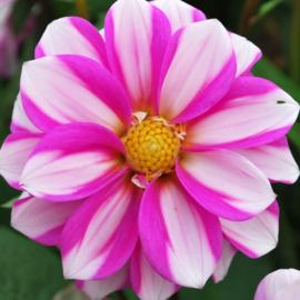 Dahlia Priceless Pink