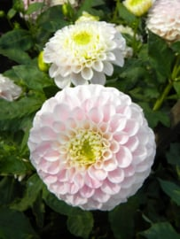 Dahlia Pink Pearl - Exclusief