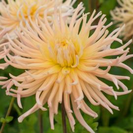 Dahlia Apricot star
