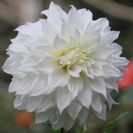 Dahlia Snowbound