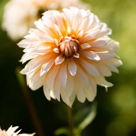 Dahlie Orange & Snow