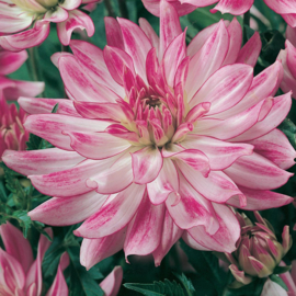 Dahlia Lilac Shadow - Exclusive