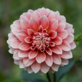 Dahlia Hollyhill Orange Ice - Exclusief