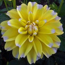 Dahlia Lemon Cane - Exclusief