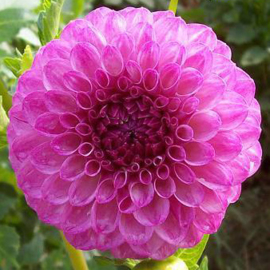Dahlia Robann Royal