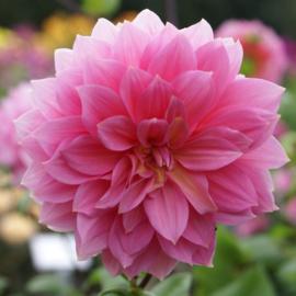 Dahlia Jersey Beauty