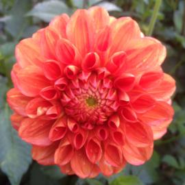 Dahlia Orange Symphony - Exclusief