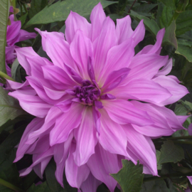 Dahlie Lavender Ruffles