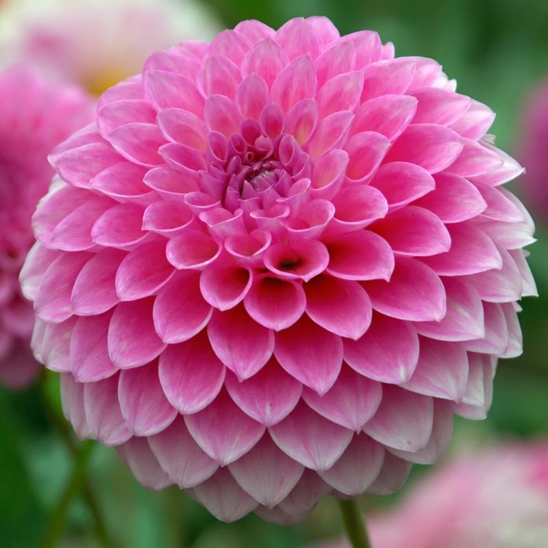 Dahlie Pink Sylvia