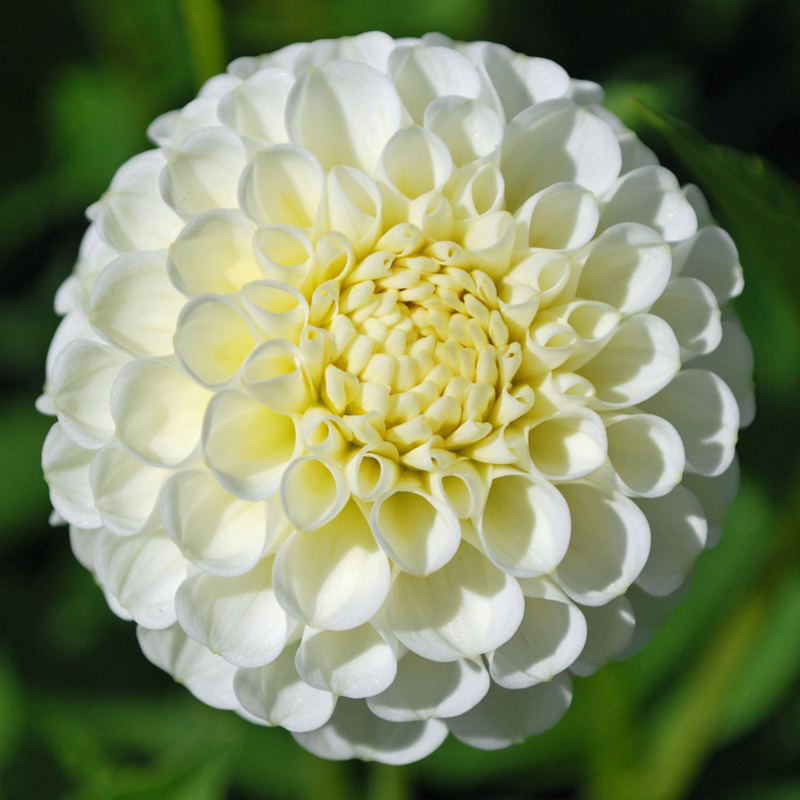 Dahlia Snowflake
