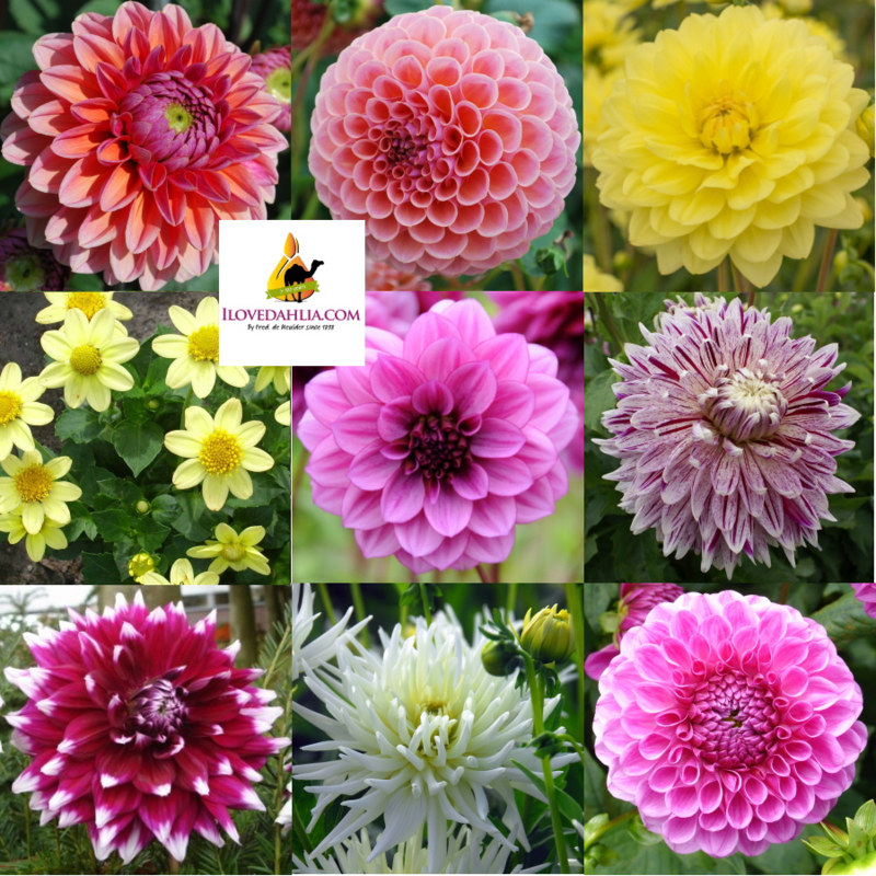Dahlia Collection Lovely Nights