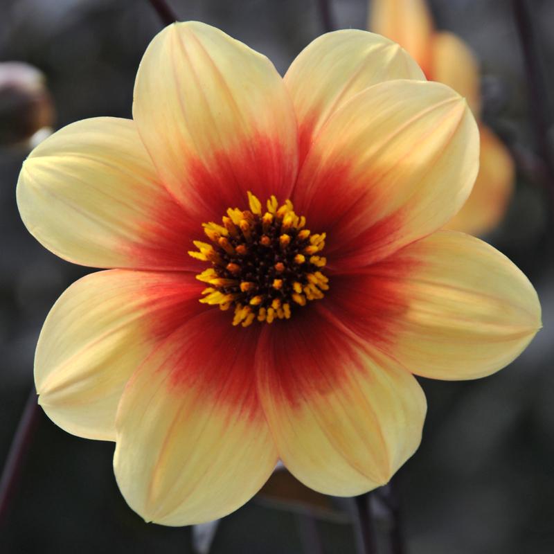 Dahlia Sunshine