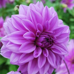 Dahlia Lilac Time